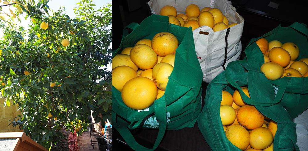 grapfruit harvest @#10