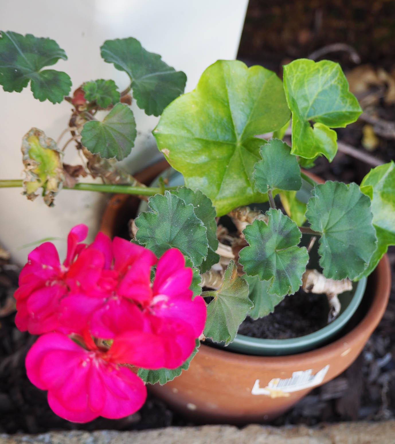 Forgotten geranium