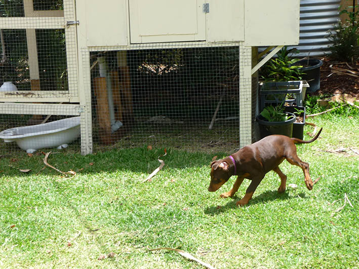 chickens and mollypup_dec2014